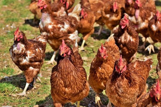 Photo of 6.400 gallinas ponedoras entregará la Gobernación de Casanare