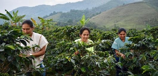 Photo of Excombatientes entregan las primeras 22 toneladas de café orgánico para comercializar en el exterior