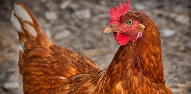 avicultura Yopal