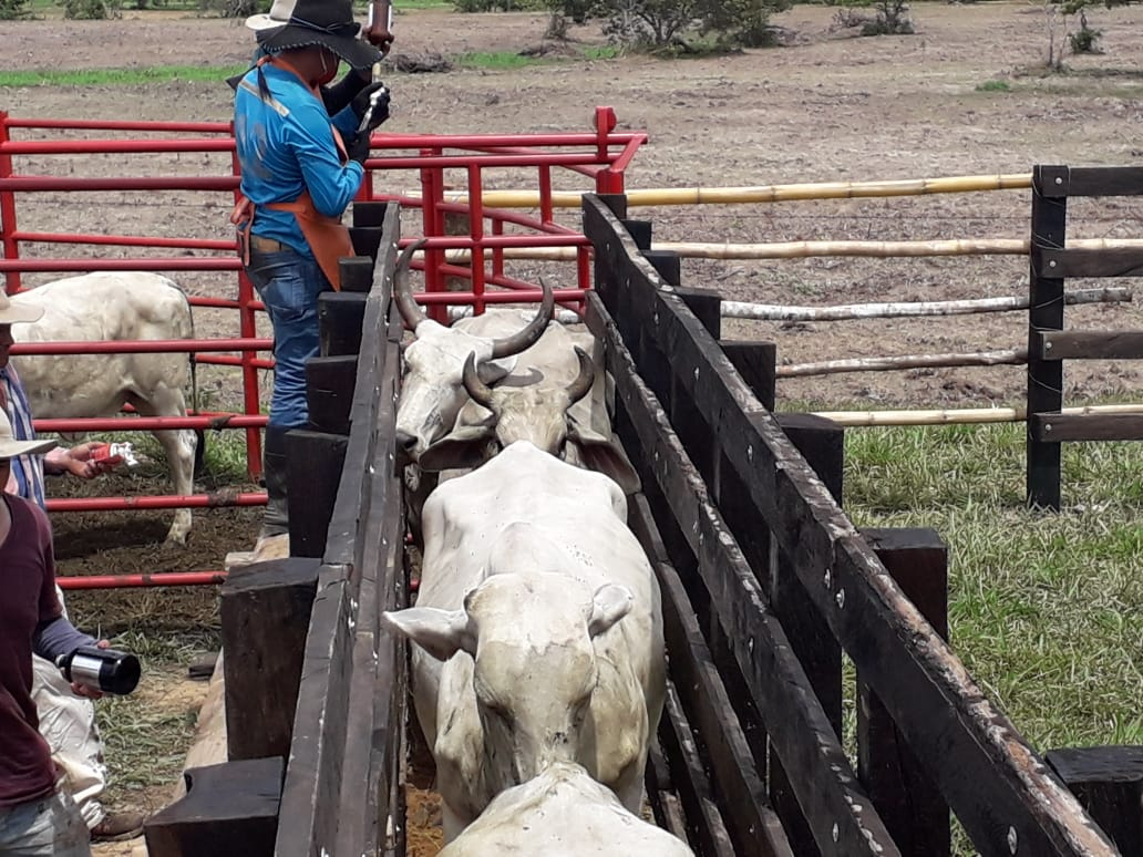 Photo of En Casanare se han vacunado 1.377.500 cabezas de ganado