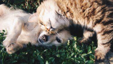 Photo of Se vacunaron 172 perros y gatos durante jornada en Yopal